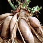 Gezonde suikervervangers: yaconsiroop