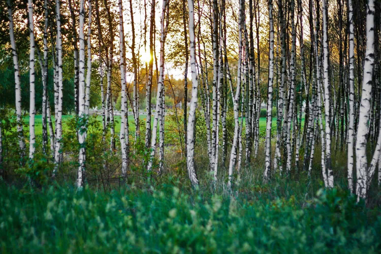 In de negentiende eeuw haalde men in Finland voor het eerst xylitol uit de bast van berkenbomen.