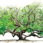 Gezonde suikervervangers: mesquite