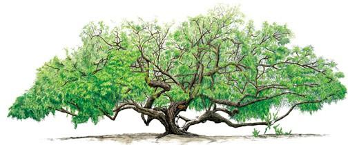 De Mesquite-boom, geïllustreerd door George Maleski.
