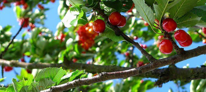 Hulp tegen spierpijn schijnt aan de bomen te groeien. Echt?